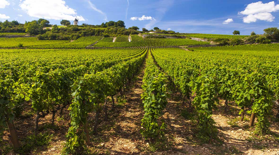 Rows of green plants in a vineyard beneath a blue sky