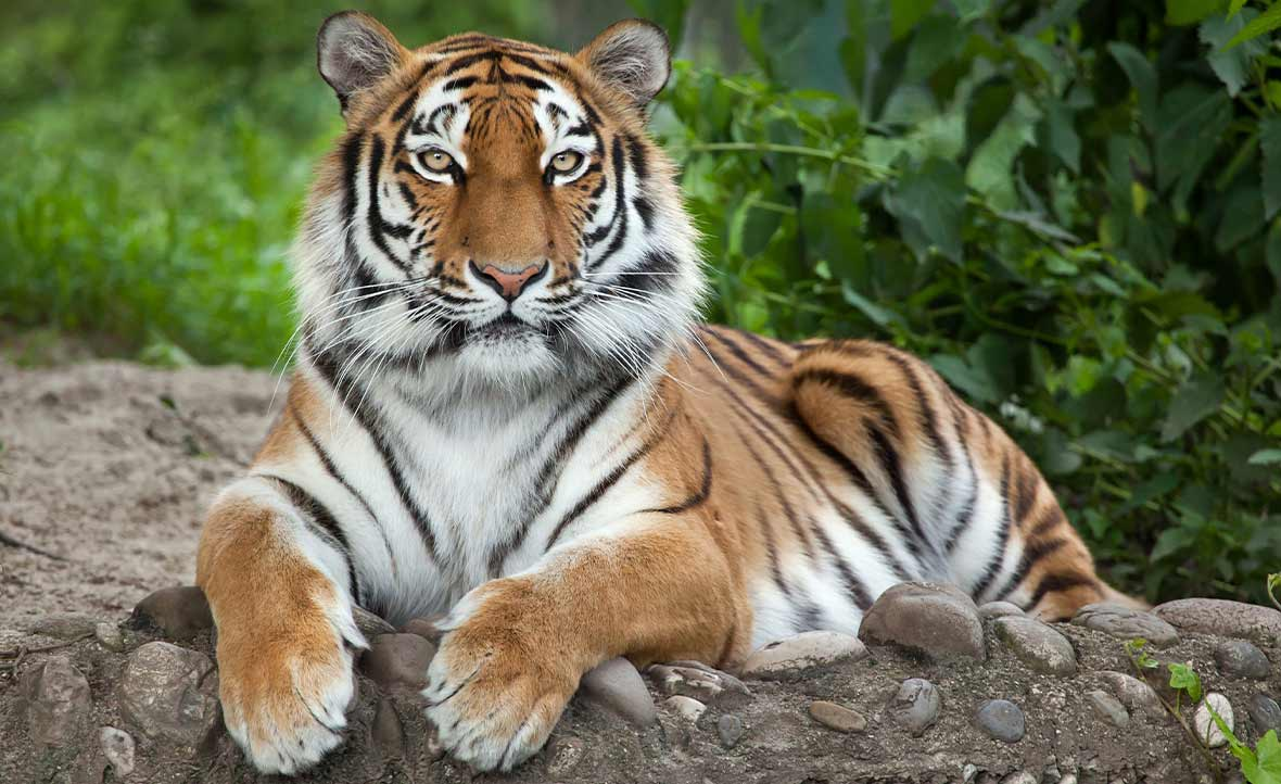 Beautiful striped tiger lying on a rock with green foliage behind