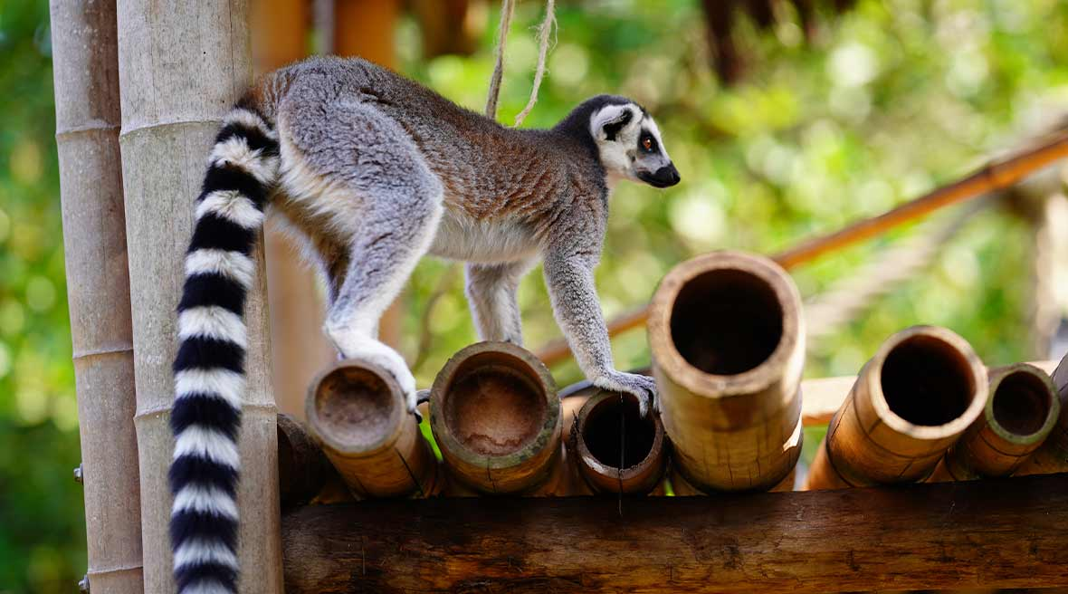 lemur with long tail climbing onto bamboo posts
