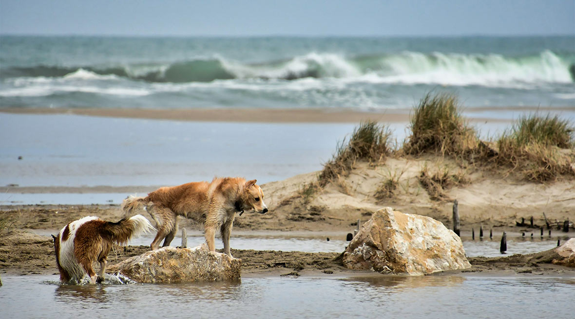 2 dogs exploring the sand dunes, sea pools and grassy verges of the Saint Maries de la Mer beach in France.