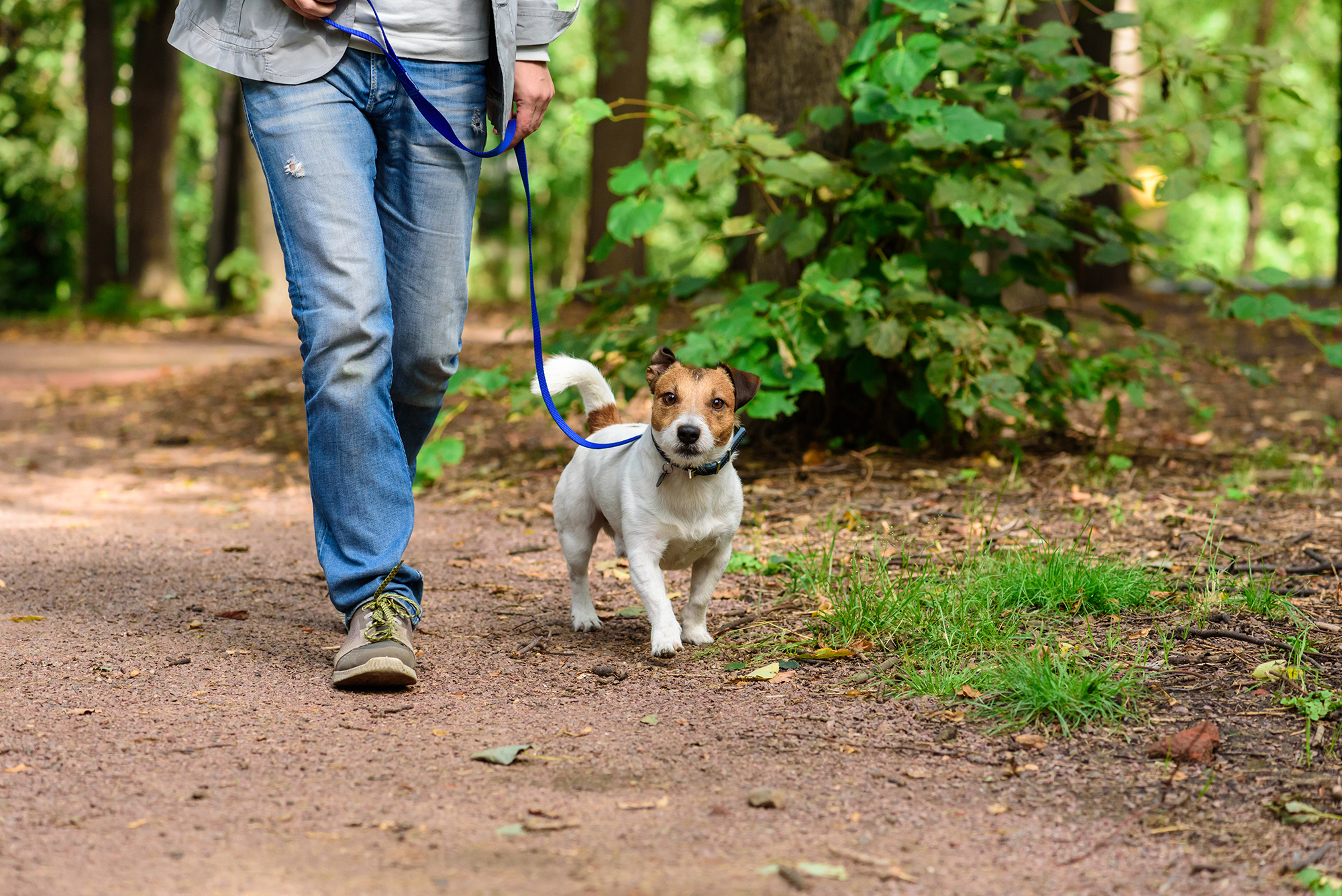 man and jack russel dog walking in the woodland with dog on a blue leash