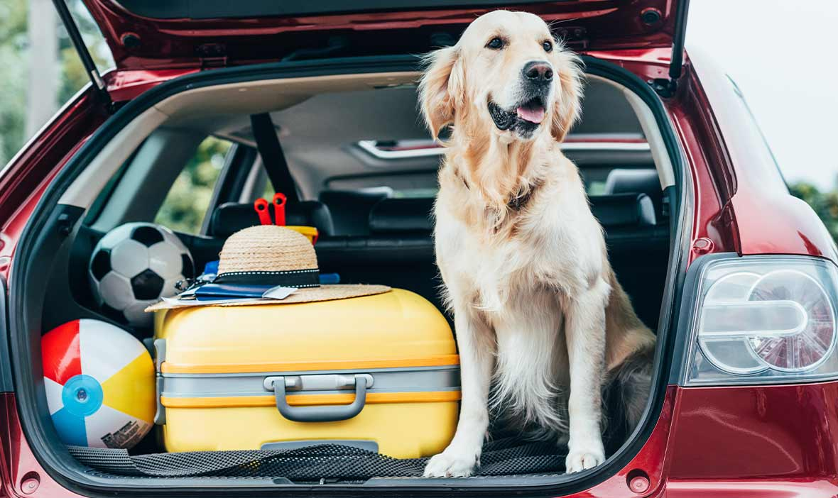 Dog sitting in car boot with luggage