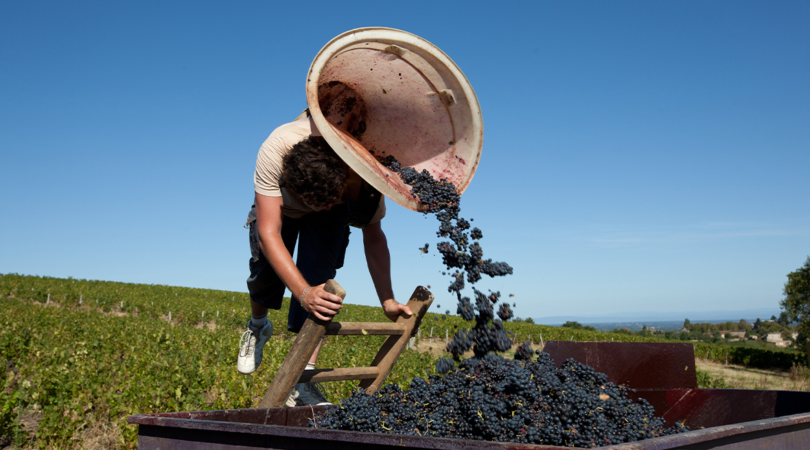 The wine harvest season begins in early September.