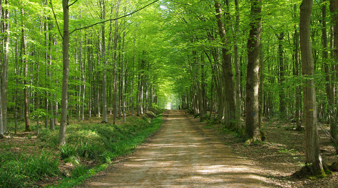 a shaded tree-lined dirt road in a forest