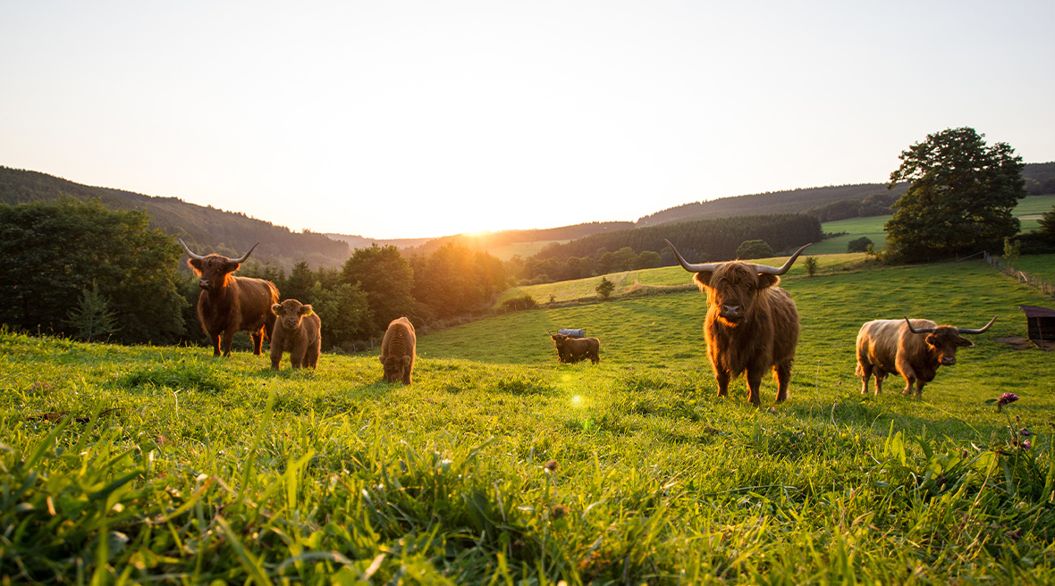 Highland cattle at sunset in Winterburg, Germany